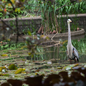 A giant blue heron stands in a pond with lily pads.