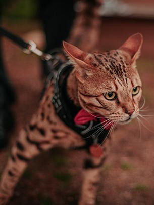 A medium sized spotted cat on a lead.