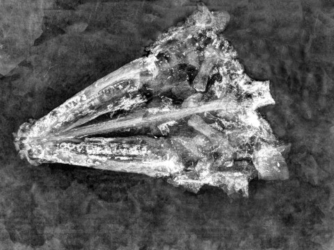 A black and white x-ray is shown depicting the skull of a gar fish.