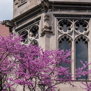 A photo of a pink flowering tree in the foreground with a campus building in the background.