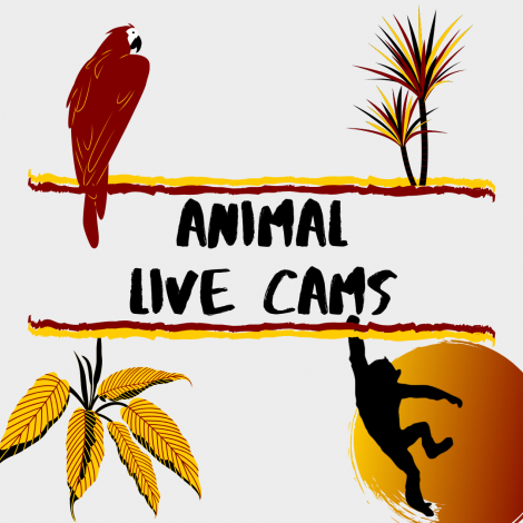 "A graphic on a gray background that says ""Animal Live Cams"" with a red parrot, red and yellow tree, yellow leaves and a silhouette of a monkey."